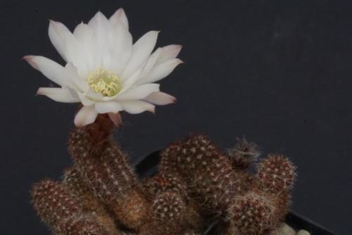 Chamaecereus silvestrii albiflorus