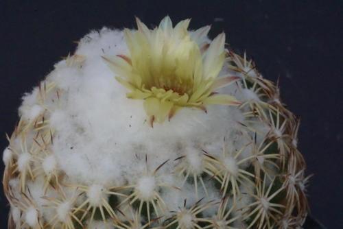 Coryphanta retusa (?)