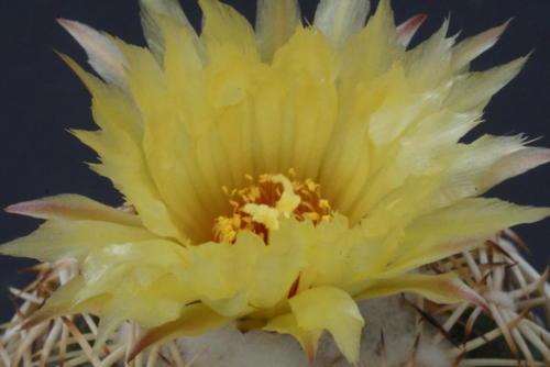 Coryphanta spec.Virtuelle Ausstellung (