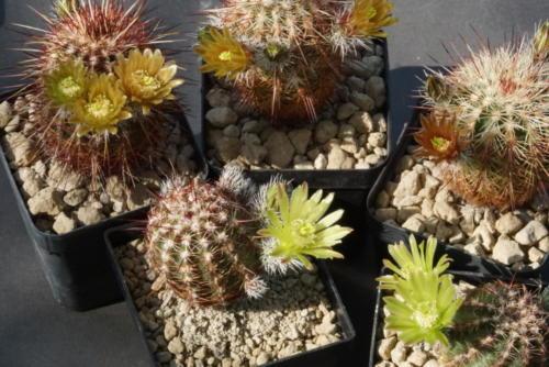 Echinocereus chloranthus und E. viridiflorus