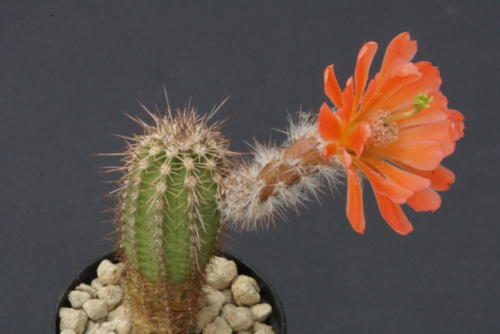 Echinocereus ortegae var. koehresianus
