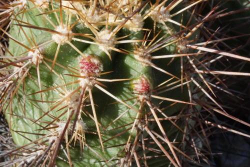Echinocereus polyacanthus (Mutterpflanze)