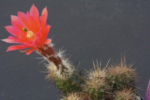 Echinocereus scheerii