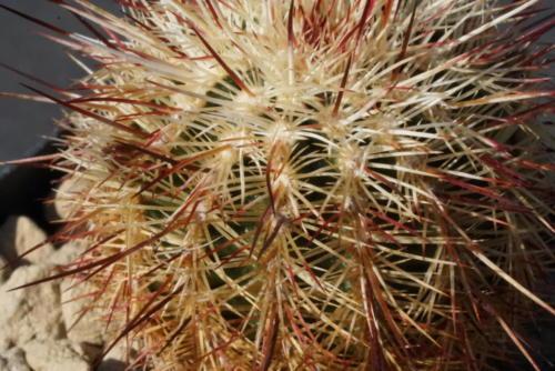 Echinocerus russanthus ssp rhyolithensis