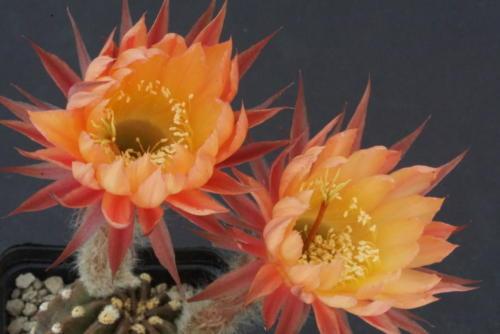 Echinopsis Hybr. 2001-16