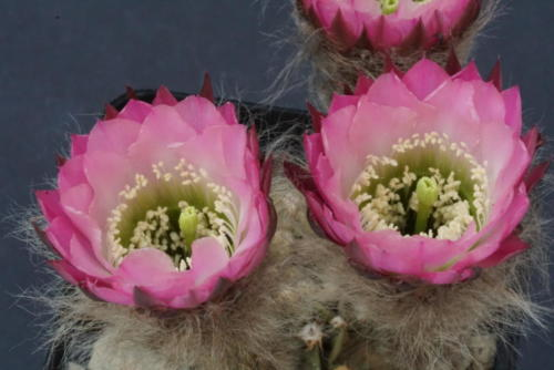 Echinopsis Hybr. Illias