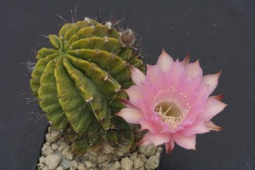 Echinopsis Hybr.