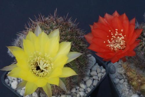 Echinopsis aurea