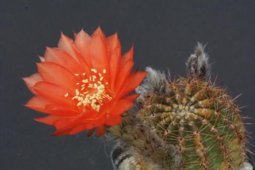 Echinopsis aurea var. dobeana