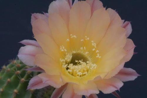 Echinopsis hybr. GS146