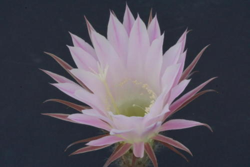 Echinopsis spec.