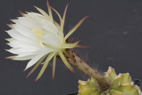 Echinopsis subdenudata cv Fuzzy Navel