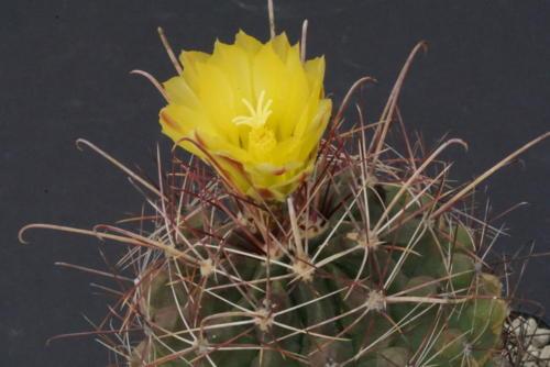 Ferocactus hamatacanthus ssp. sinuatus