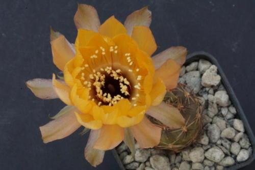 Lobivia chrysantha