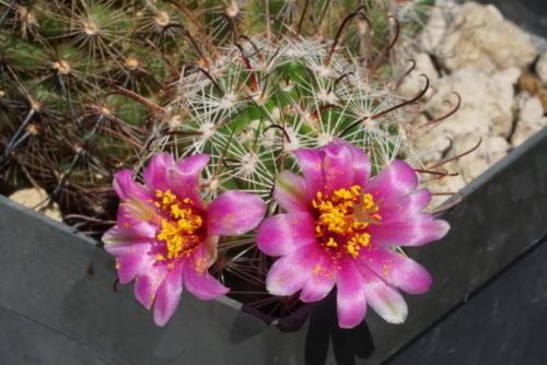 Mammillaria gueldemanniana