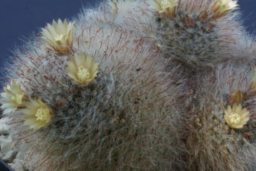 Mammillaria hirsuta