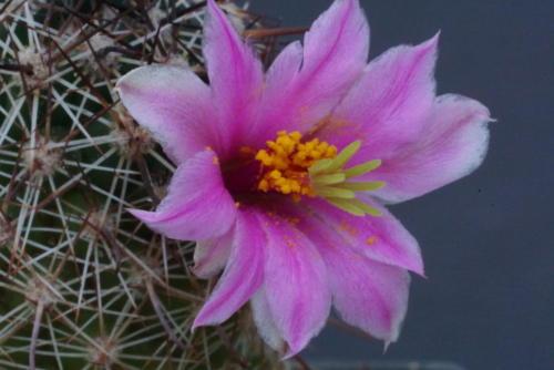 Mammillaria mazatlanensis