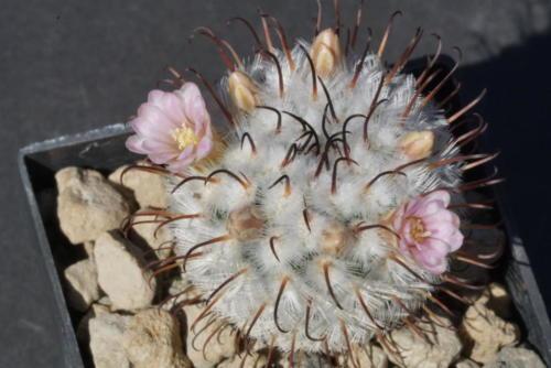 Mammillaria perezdelarosae var andersonii