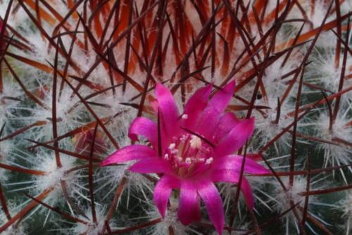 Mammillaria rhodanta