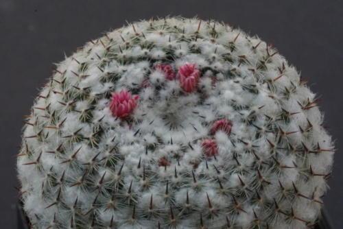 Mammillaria spec.