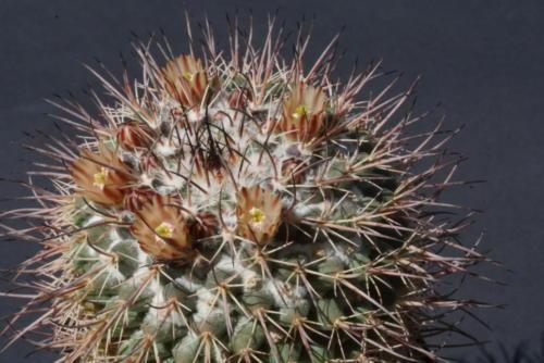 Mammillaria wagneriana