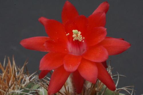 Matucana madisoniorum var. pujupetii