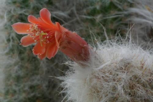 Oreocereus doelzianus var. sericatus