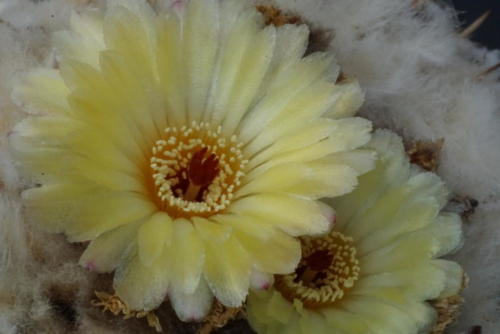 Notocactus turbinatus