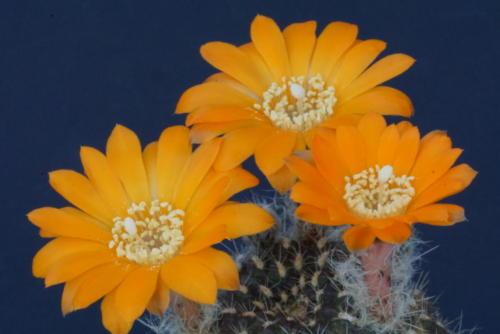 Rebutia aureiflora