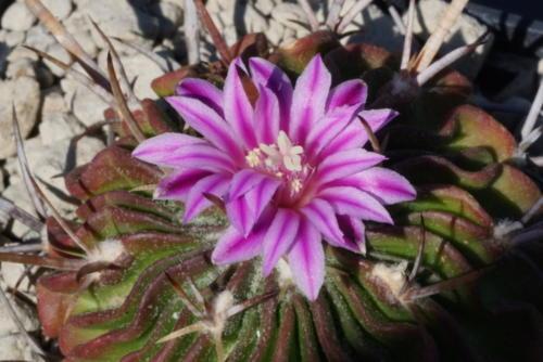 Stenocactus phyllacanthus