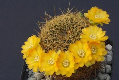 Sulcorebutia candiae