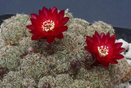 Sulcorebutia pasopayana