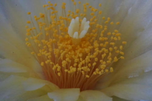 Thelocactus leucanthus