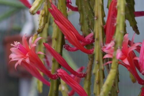 Aporocactus hybr.