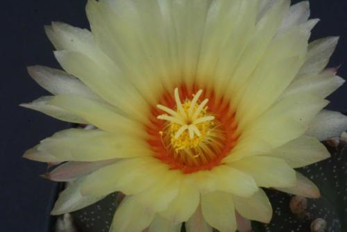 Astrophytum asterias hybr.