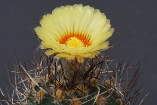 Astrophytum crassispinum