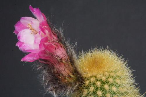Cleistocactus roseiflorus