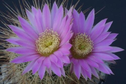 Echinocereus adustus var. roemerianus
