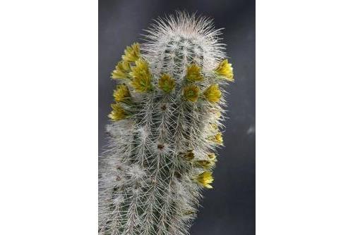 Echinocereus canus