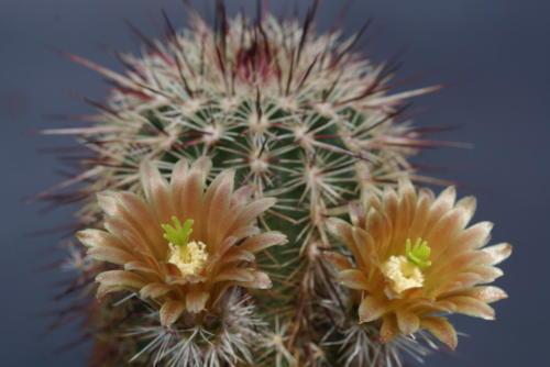 Echinocereus chlorantus