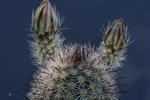 Echinocereus dasyacanthus var. rectispinus