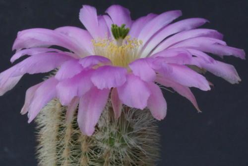 Echinocereus longisetus var. freudenbergeri