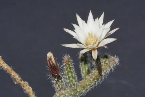 Echinocereus leucanthus