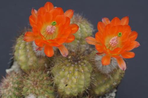 Echinocereus ortegae ssp. koehresianus