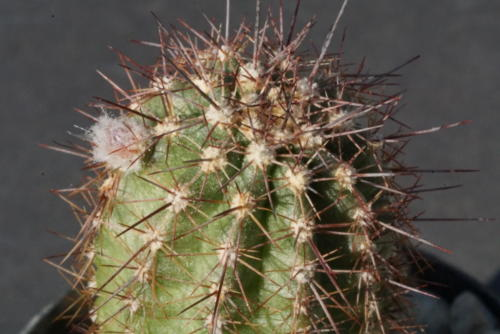Echinocereus polyacanthus