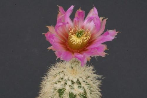 Echinocereus reichenbachii ssp. baileyi
