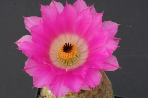 Echinocereus ridigissimus var. rubispinus