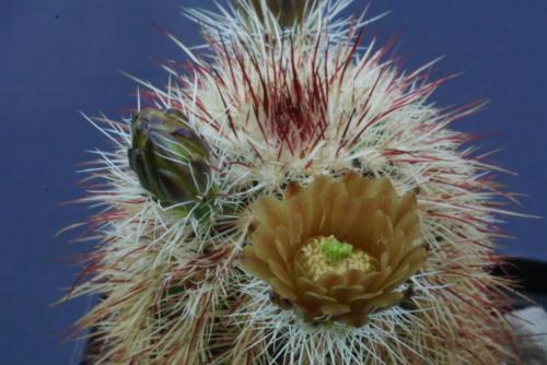 Echinocereus russanthus var. rhyolithensis (SB 47)