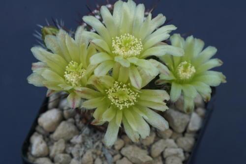 Echinocereus viridiflorus