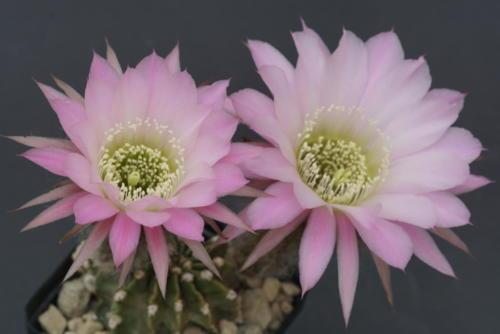 """Echinopsis Hybr. """"A13 Illias"""""""